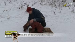 Укладка щенка риджбека, сочетание корма и принуждения