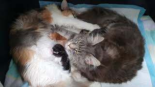 The Maine Coon babies