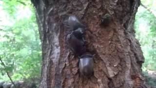 クヌギ林のクワガタ調査