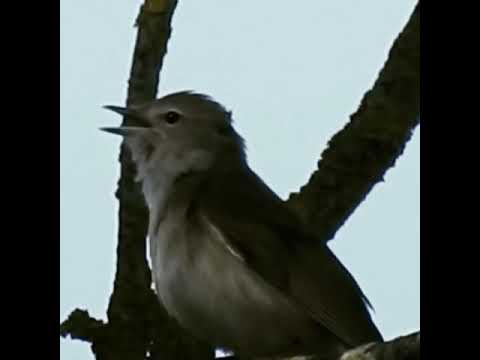 Havesanger/garden warbler song