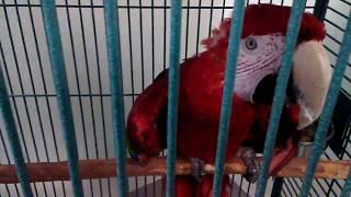 США Лос Анжелес, Калифорния, Красавчик попугай-купить?