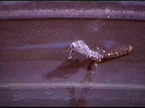 Ciclo de vida do mosquito da Dengue - Aedes Aegypti