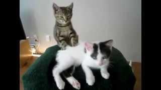 Покорный кот-массажист. Кошачий БДСМ. Кошка принуждает делать себе массаж