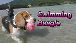 ビーチでビーグル犬小梅とボール遊びしました。 On August 2017, we wen...