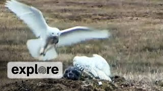 EXPLORE HIGHLIGHT | Arctic Snowy Owl delivers prey to nest thumbnail