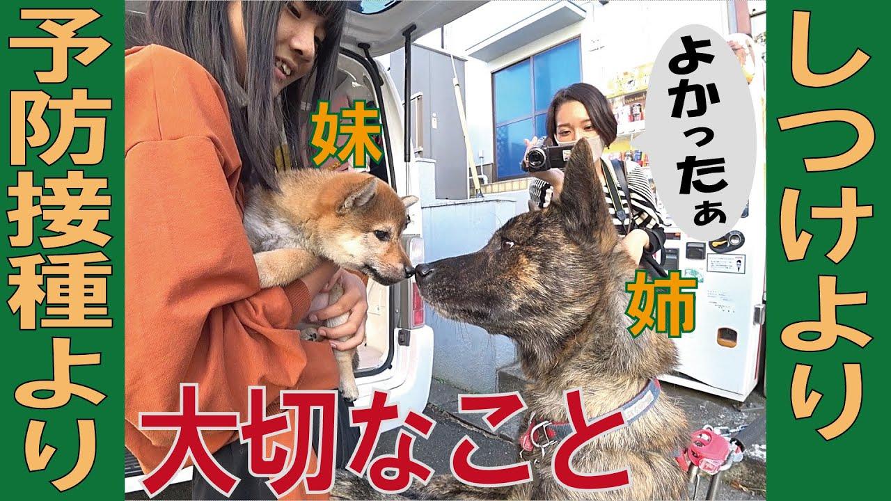 子犬にとってしつけや予防接種より大切なこと=!【甲斐犬・柴犬】