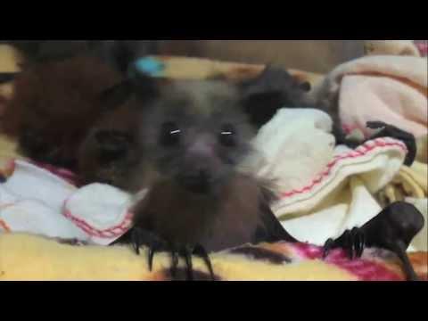 I pipistrelli rimasti orfani che vengono accuditi come dei bambini