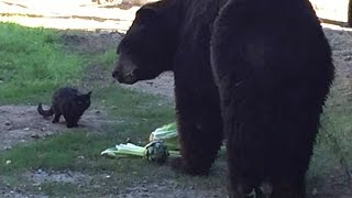 Opposites Attract: Big Black Bear and Feral Feline Are Unlikely Best Friends