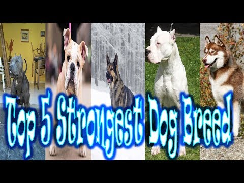 Top 5 Strongest Dog Breeds in the World