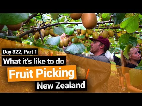 Kiwifruit Picking In New Zealand (Working Holiday Job) – New Zealand's Biggest Gap Year