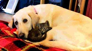 Labrador Retriever | Fun Dog Vlog