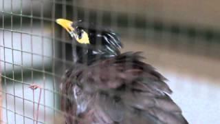 suara burung jalak nias gacor bisa tiru suara manusia