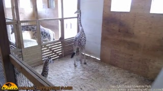 Tuesday Giraffe Cam (5-23-17) thumbnail