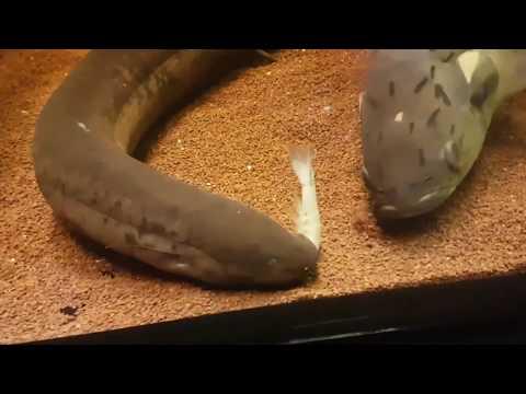 Lungfish Struggles