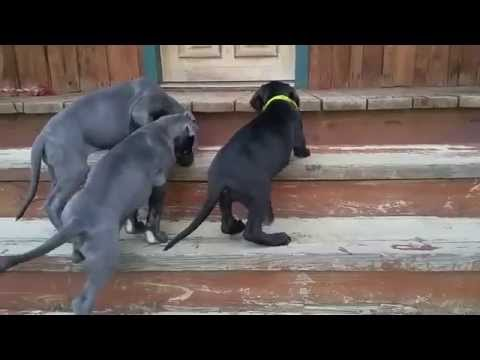 8 Week Old Great Dane Puppies