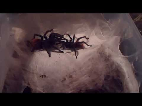 Greenbottle blue tarantula - Mashpedia Free Video Encyclopedia