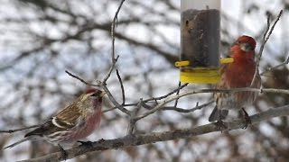 Common Redpoll & Finches Part 2, Central Park Bird Feeders, Nyc