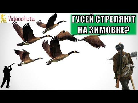 Наших гусей и уток стреляют на зимовке МИЛЛИОНАМИ? Охота - Videoohota