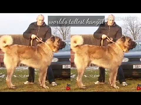 World's biggest and badass and largest dog breeds! KANGAL DOG.
