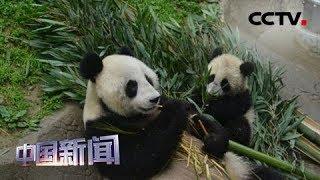 [中国新闻] 旅俄大熊猫入驻新家 吃光舔碗胃口好 | CCTV中文国际