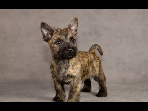 **Housebreaking A Cairn Terrier Puppy** Very Helpful Free Mini-Course On Cairn Terrier Training :)