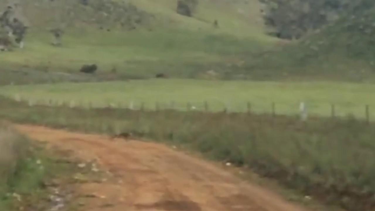 thylacine sighting october 2016 adelaide hills youtube