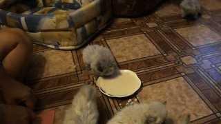 How to learn kittens to eat independently?_как научить котят кушать самостоятельно?