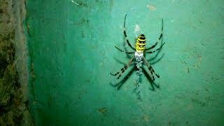 Паук Аргиопа. Оса паук
