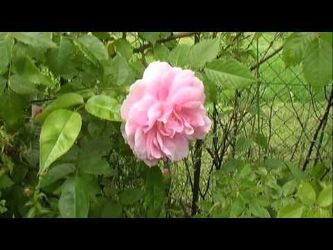 I never promised You a Rosegarden - YouTube