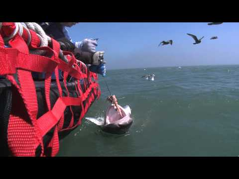 Tagging and Protecting Sharks with Jared Huffman AB 376.mov