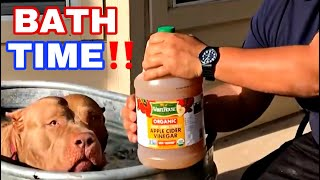Never Seen Before Dip Clears Your American Bully's Coat