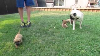 Pug X Dachshund Puppies July 2014