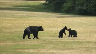 Bear Cubs Wrestle While Mama Walks Around