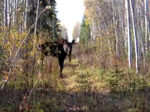 Bull Moose Calling  MOV
