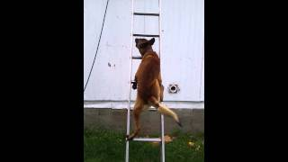 Amazing dog scales ladder