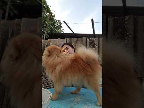 หมาชอบให้หวีขน อย่างฟิน