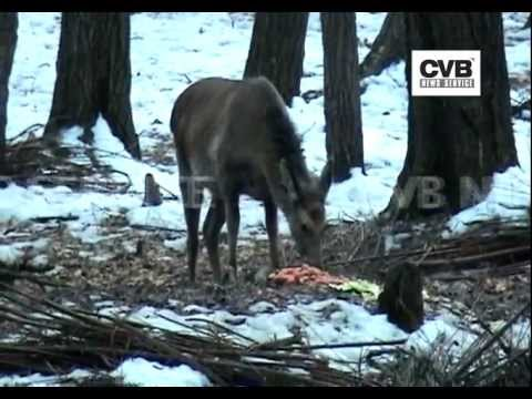 FOREST OFFICIALS ARRANGING FOOD FOR WILD ANIMALS IN JAMMU AND KASHMIR