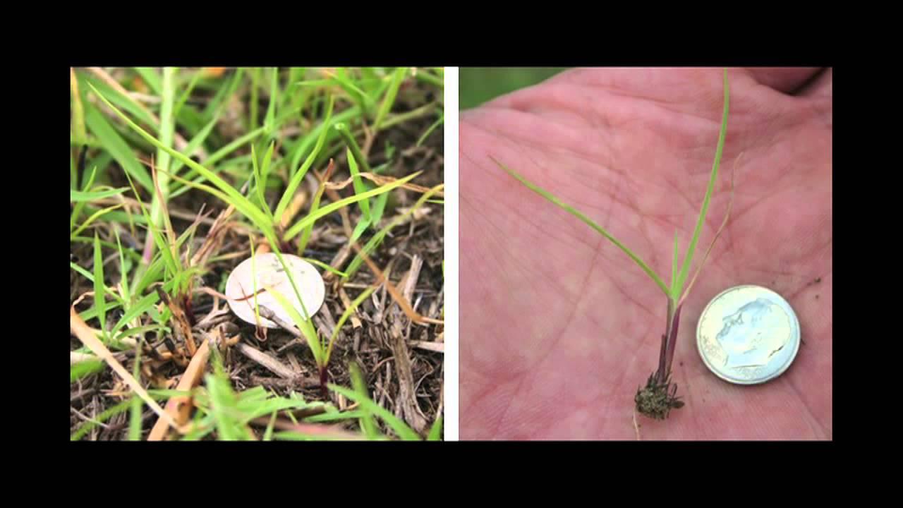 Weed Of The Week 795 Field Sandbur Air Date 6 30 13