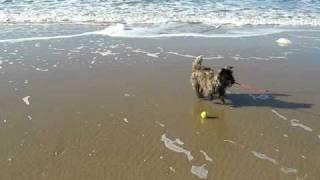 My Cairn Terrier Fuffy On Valentine's Day