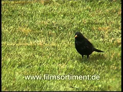 Schulfilm: DIE AMSEL (DVD / Vorschau)