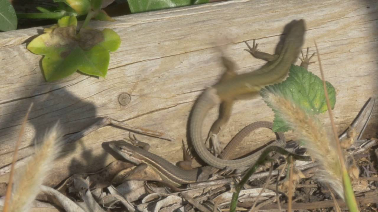 Lagartija colilarga (Psammodromus algirus) - YouTube