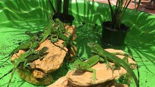 Baby Iguana Mini Pool Pond! Catching Hatchling Iguanas In Florida!