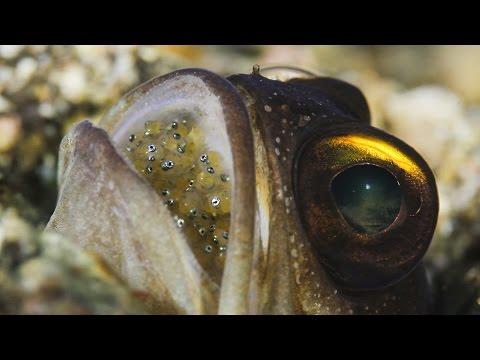 Mouthbrooding Jawfish
