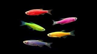Новые рыбки! ДАНИО розовые.гуппи,меченосцы.