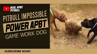 Pitbull Impossible Power APBT Game Work Dog