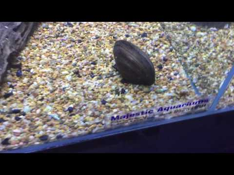 Mussel Are A Must In Your Aquarium!