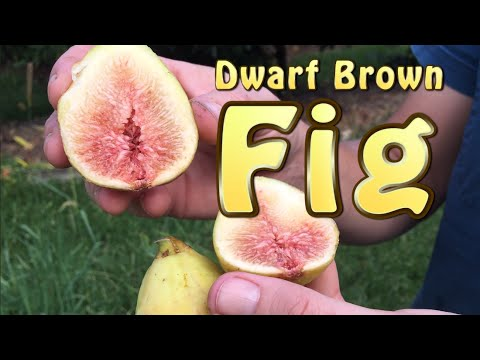 Dwarf Brown Fig Tree -Small with Sweet delicious Figs ( Dwarf Fruit Trees)