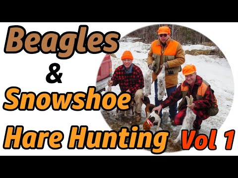 Beagles & Snowshoe Hare Hunting V1 :: North Country NH Rabbit Hunting Tradition Preview