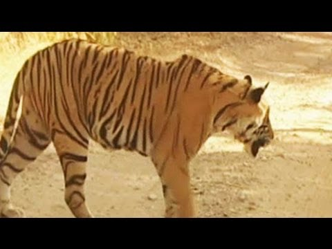 The man eating Tigress of Ooty