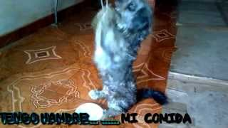 Shihtzu Training To Sit In 2 Legs/shihtzu Dog/shihtzu Sentado En 2 Patas  Sin Trucos